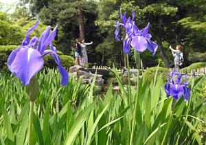 好天が続き、ちらほらと咲き始めたカキツバタ=金沢市の兼六園で