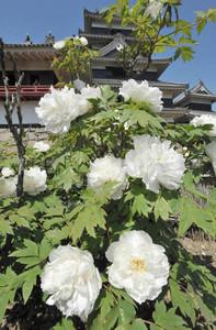 見頃を迎え、白い大輪が国宝松本城本丸庭園を彩る小笠原牡丹=松本市で
