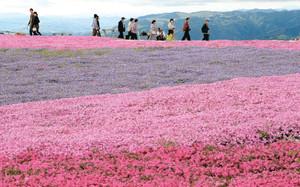 じゅうたんを敷き詰めたように美しいシバザクラ=豊根村の茶臼山高原で