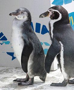 父親のフンボルトペンギン(右)に見守られているひな=魚津水族館で