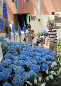 青い花々を飾り付けた会場=砺波市チューリップ四季彩館で
