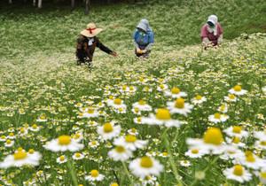 見頃を迎え畑一帯を黄色と白に染めるカモミール=池田町で
