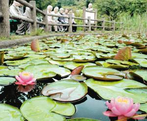見頃を迎えた美しいスイレンの花=甲賀市水口町名坂の大池寺で