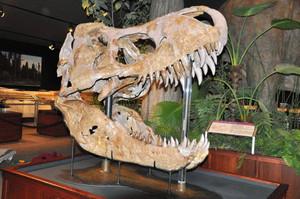 特別展の目玉展示の一つとなるティラノサウルスの実物の頭骨化石=モンタナ州立大付属ロッキー博物館提供