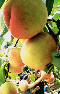 たわわに実ったモモ。カップルらが仲良く収穫していた=竜王町山之上で