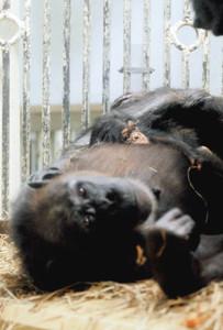 母親のおなかの上で愛くるしい姿を見せるチンパンジーの赤ちゃん=名古屋市千種区の東山動物園で(同園提供)