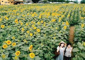 約5万本のヒマワリが咲き誇る「ひまわり迷路」=いずれも石川県加賀市で