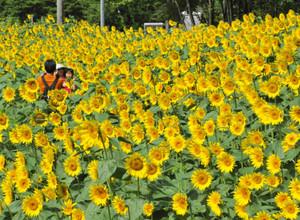 夏の日差しを浴びて畑一面に咲き誇るヒマワリ=阿南町で