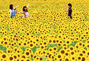 見頃を迎えたヒマワリ畑で記念撮影する人たち=大垣市榎戸町で