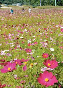 高原一面に咲いた色とりどりのコスモス=阿智村の治部坂高原で
