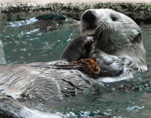 上手に前足を使って伊勢エビを食べる長寿ラッコのポテト=鳥羽市の鳥羽水族館で