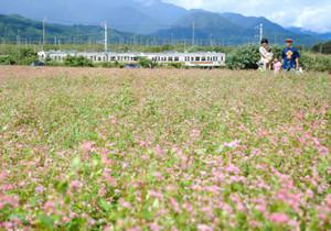 薄紅色の花が咲く赤ソバ畑=中川村片桐で