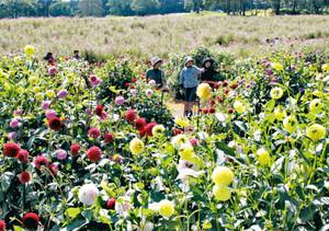 色鮮やかに咲くダリア=信濃町の「旬花咲く黒姫高原」で