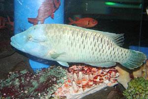 現在水族館で飼育している体長40センチほどのナポレオンフィッシュ=七尾市ののとじま水族館で(県民ふれあい公社提供)