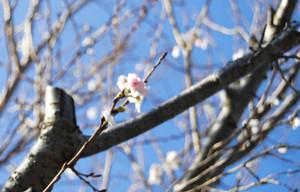 このところの暖かさで開花したカンザクラ=掛川市役所庁舎南側で