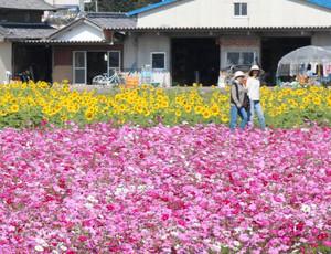 競い合うかのように咲くヒマワリとコスモス=関市東田原で