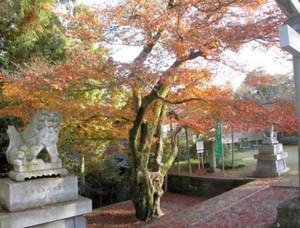 スタンプラリーのコースの1つ「足羽神社のモミジ」=福井市の足羽神社で