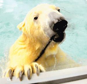 気持ちよさそうにプールで泳ぐヴァニア=静岡市日本平動物園で