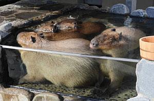 気持ちよさそうに、目をつぶり湯船につかるカピバラ=いしかわ動物園で