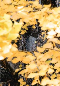 大イチョウに祭られ、姿を現した石仏=高山市総和町の飛騨国分寺で
