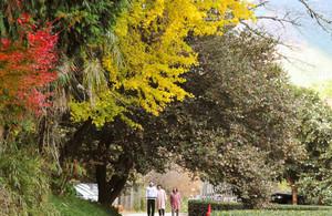 赤く色づいたモミジや黄色のイチョウと競演するサザンカのトンネル。右端は寒ツバキ=松阪市飯南町粥見で