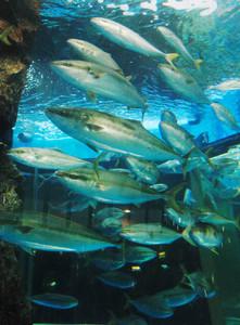 海洋水槽内を群れながら回遊するブリ=魚津水族館で
