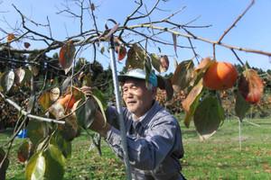紋平柿を収穫する谷本さん=宝達志水町山崎で