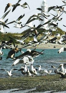 北西の風に乗り、餌を求め舞い降りるウミネコやカモメの群れ=浜松市南区の遠州灘海岸で(斉藤直純撮影)