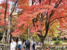 鶏足寺参道でモミジの紅葉を楽しむ行楽客=滋賀県長浜市木之本町で
