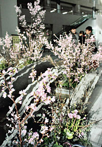 薄ピンクの花をつけた啓翁桜などが並ぶ会場=富山市役所で