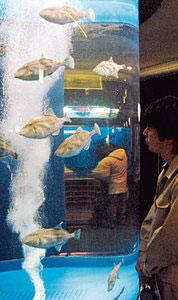 円柱水槽の中を泳ぐウマヅラハギ=魚津水族館で