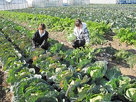 「お陽様農園」で青々としたキャベツを収穫する入園者