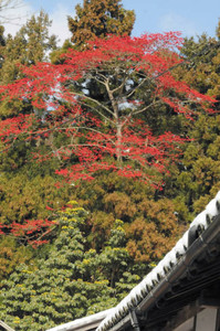 無数の赤い実をつけたタマミズキが日差しに映え参拝者を楽しませている=東近江市の百済寺境内で