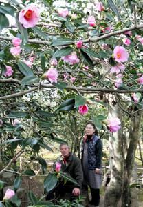 ピンクの花を咲かせるツバキ「太郎冠者」=静岡市駿河区池田の静峰園・椿の里で