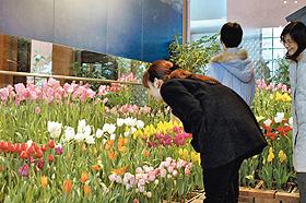 一年中チューリップが咲いているチューリップ四季彩館