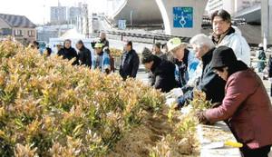 90年ぶりに復元される一里塚にオカメザサの苗を記念に植える住民=名古屋市緑区有松で