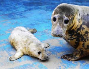 ハイイロアザラシの「サンゴ」(右)が産んだ赤ちゃん=鳥羽水族館提供