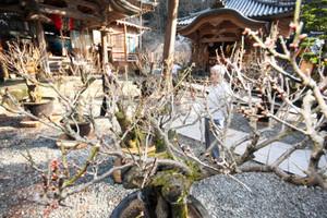 本堂前に飾られた盆梅=若狭町の三方石観世音で