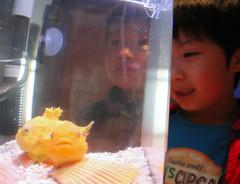 膨らんだ体が特徴のフウセンウオ=浜松市西区の浜名湖体験学習施設ウォットで