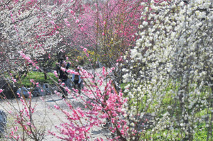 満開はもう少し先ながら、ぽかぽか陽気で咲き始めた梅=いなべ市藤原町の梅林公園で