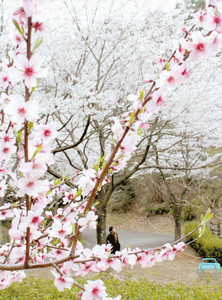 咲き並ぶアーモンドの花(手前)とソメイヨシノ=浜松市北区のはままつフルーツパークで