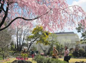 ピンクの桜、黄のミモザ、白の桃(右奥)が共演=豊田市大林町の花遊庭で