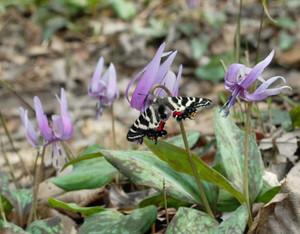 一面に咲くカタクリに止まったギフチョウ=関市武芸川町宇多院で