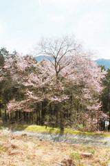 ようやく見ごろとなったエドヒガンザクラの東明桜