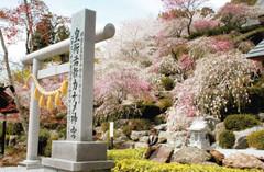 五、六分咲きとなった源平しだれ桃の前で観光客らが記念撮影する姿も=浜松市北区引佐町で