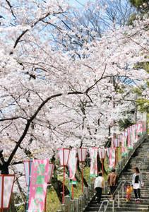 満開に近づき見ごろを迎えている金崎宮の桜=敦賀市金ケ崎町で