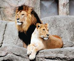 ポーズを決めたような姿を見せたモデルのライオン=浜松市西区の浜松市動物園で