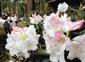 見ごろを迎え鮮やかに咲くシャクナゲ=16日午後、森町の小国神社で(袴田貴資撮影)