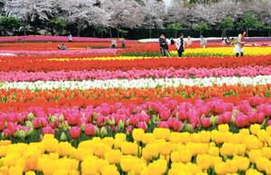 見頃を迎え、辺り一面に咲き誇る色とりどりのチューリップ=桑名市のなばなの里で