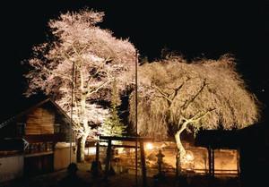 ライトアップされた桜の巨木=豊根村上黒川の熊野神社で